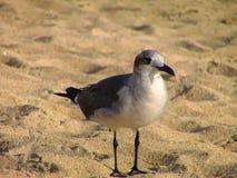 fåglar kallade seagulls för seagull för laridae för familjfiskmåsar informellt ofta Arkivfoton