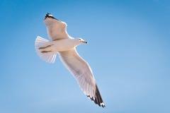 fåglar kallade seagulls för seagull för laridae för familjfiskmåsar informellt ofta Royaltyfri Fotografi