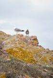 fåglar kallade seagulls för seagull för laridae för familjfiskmåsar informellt ofta Arkivbild