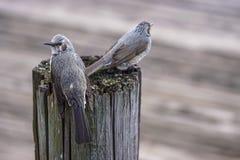 fåglar little Royaltyfri Foto