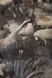 fåglar migrate royaltyfria bilder