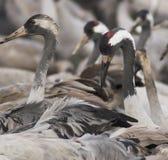 fåglar migrate royaltyfri bild