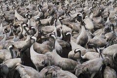 fåglar migrate arkivfoto