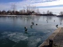 Fåglar på is arkivfoto
