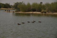 Fåglar på Al Qudra Lakes, Dubai Royaltyfria Bilder