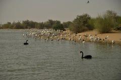 Fåglar på Al Qudra Lakes, Dubai Arkivfoto