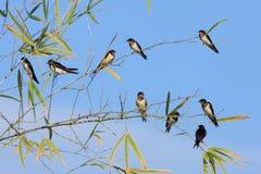 Fåglar på bambu Arkivfoto