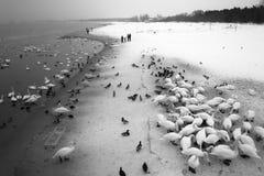 Fåglar på den Brzezno stranden Royaltyfri Bild