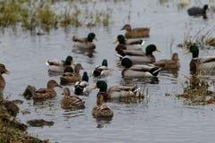 Fåglar på den gamla hickory sjön Arkivfoto