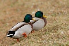 Fåglar på den gamla hickory sjön Royaltyfria Foton