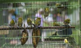 Fåglar på den Pasar Ngasem marknaden i Yogyakarta, centrala Java, in Fotografering för Bildbyråer