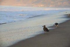 Fåglar på den Santa Monica stranden Kalifornien Arkivfoton