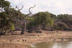 Fåglar på djungeln som bevattnar hålet Arkivfoton