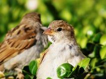 Fåglar på en buske Royaltyfria Foton