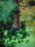 Fåglar på en förlagematare - talgoxar arkivbild