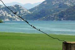 Fåglar på en linje på Skadarsko Jezero översvämmar arkivbilder