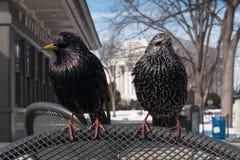 Fåglar på en stol Fotografering för Bildbyråer