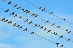 Fåglar på en tråd Royaltyfri Foto