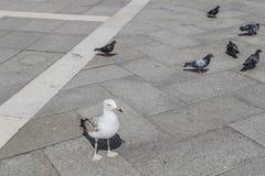 Fåglar på fyrkant av San Marco, Venedig arkivfoto