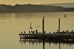 Fåglar på Lake Havasu Fotografering för Bildbyråer