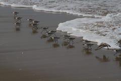 Fåglar på stranden Royaltyfria Bilder