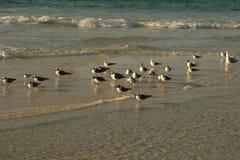 Fåglar på stranden, Ft Walton Beach FL Arkivfoton