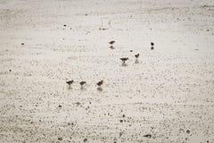 Fåglar på stranden på lågvatten Arkivbild