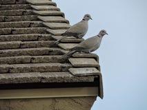 Fåglar på taket Fotografering för Bildbyråer