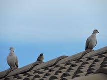 Fåglar på taklägga Royaltyfri Bild