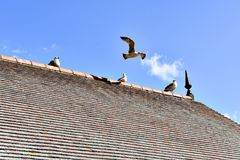 Fåglar på taklägga Royaltyfri Foto