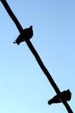 Fåglar på tråd Royaltyfri Foto