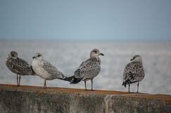Fåglar på väggen Fotografering för Bildbyråer