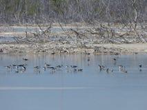 Fåglar Salt Lake, Puerto Rico Royaltyfri Fotografi