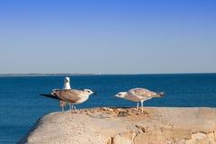 Fåglar slåss för matLarusargentatus royaltyfria foton