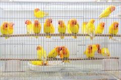 Fåglar som är till salu på Souq Waqif, Doha Royaltyfri Bild