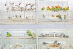 Fåglar som är till salu på Souq Waqif, Doha Royaltyfri Foto