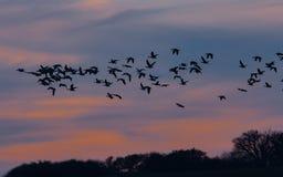 Fåglar som är utvandrande in i den blåa himlen i solnedgång arkivbilder