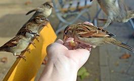 Fåglar som äter ut ur din hand Arkivbild