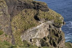 Fåglar som bygga bo på klipporna av Vestmannaeyjar Royaltyfri Bild
