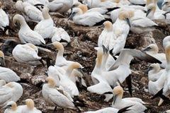 Fåglar som bygga bo på, vaggar den ekologiska reserven för uddeSt Mary ` s Arkivbild