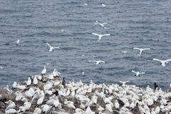 Fåglar som bygga bo på, vaggar den ekologiska reserven för uddeSt Mary ` s Arkivbilder