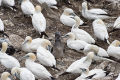 Fåglar som bygga bo på, vaggar den ekologiska reserven för uddeSt Mary ` s Fotografering för Bildbyråer