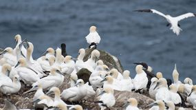 Fåglar som bygga bo på, vaggar den ekologiska reserven för uddeSt Mary ` s Royaltyfri Fotografi