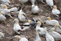 Fåglar som bygga bo på, vaggar den ekologiska reserven för uddeSt Mary ` s Royaltyfri Foto
