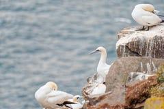 Fåglar som bygga bo på, vaggar den ekologiska reserven för uddeSt Mary ` s Arkivfoto