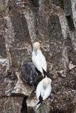 Fåglar som bygga bo på, vaggar den ekologiska reserven för uddeSt Mary ` s Arkivfoton