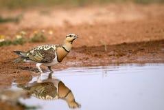 fåglar som dricker dammsteppen Royaltyfria Bilder