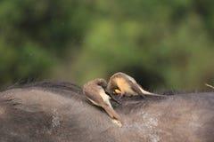 Fåglar som festar på uddebuffel i masaien Mara Arkivbild