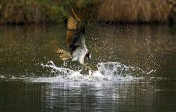 fåglar som fiskar fiskgjuserovet Arkivfoto