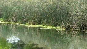 Fåglar som flyger över dammet för att landa på gröna vasser arkivfilmer
